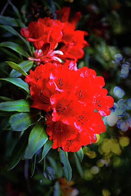 Photograph - Red Rhodies by Nareeta Martin