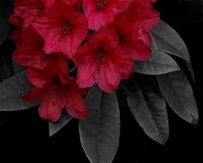 Photograph - Red Rhodies On Gray by Patricia Strand