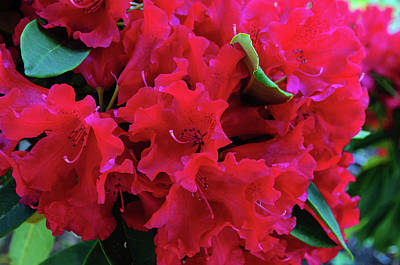 Photograph - Red Rhododendron Cluster by Tikvah's Hope