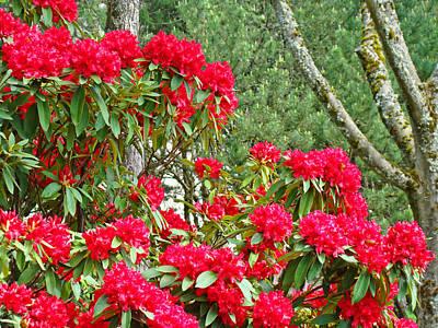 Red Rhododendron Garden Art Prints Rhodies Landscape Baslee Troutman Art Print by Baslee Troutman