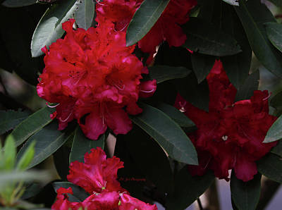 Photograph - Red Rhododendron by Jeanette C Landstrom