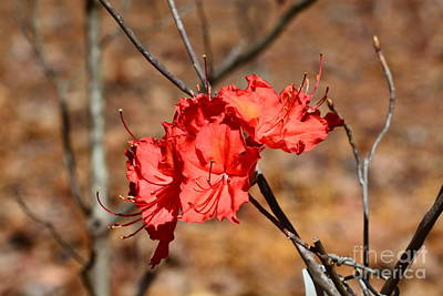 Photograph - Red Rhododendron by Maria Urso