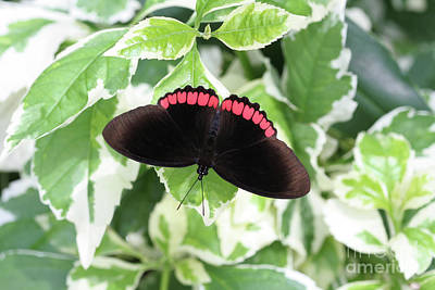 Photograph - Red Rim Butterfly #2 by Judy Whitton