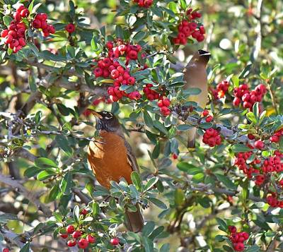 Red Robin And Cedar Waxwing 1 Print by Linda Brody