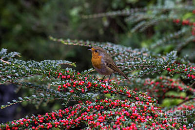 Photograph - Red Robin by Ian Mitchell