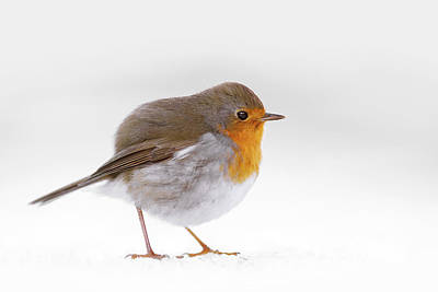 Red Robin In The White Snow Art Print