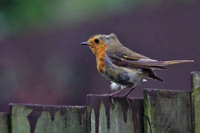 Photograph - Red Robin On A Fence by Jeremy Hayden