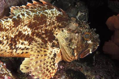 Red Rock Cod Fish. Scorpaena Papillosa Art Print by James Forte