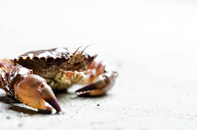 Photograph - Red Rock Crab by Steven Brodhecker