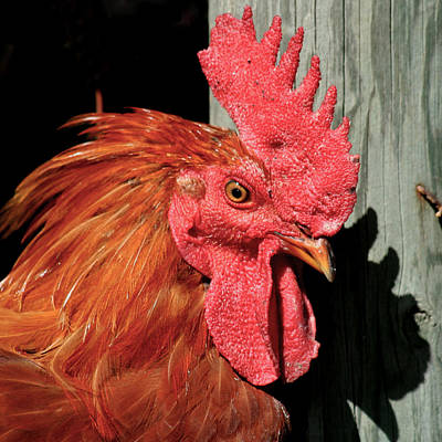 Red Rooster Art Print by Art Block Collections