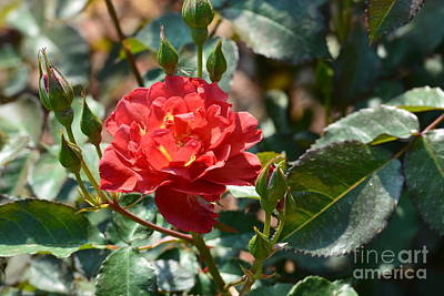 Photograph - Red Rose 17-01 by Maria Urso
