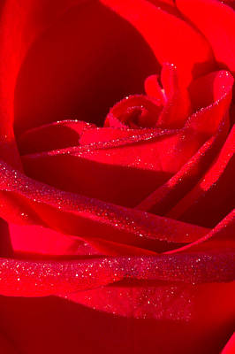 Photograph - Red Rose 4731 by Peter Skiba