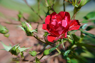 Photograph - Red Rose And Buds by Aimee L Maher Photography and Art Visit ALMGallerydotcom