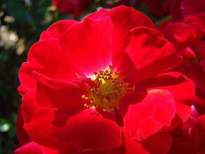 Roses Royalty-Free and Rights-Managed Images - RED ROSE Art Print Sunlit Roses Botanical Giclee Baslee Troutman by Baslee Troutman