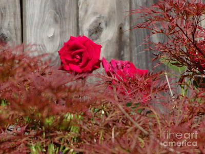 Photograph - Red Rose Behind Bush by Rod Ismay