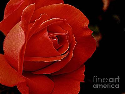 Photograph - Red Rose by Daniel Koral