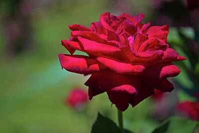 Photograph - Red Rose by David Freuthal
