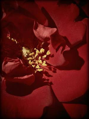 Photograph - Red Rose Detail by Chris Berry