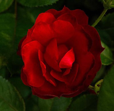 Photograph - Red Rose by Don Spenner