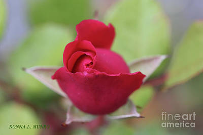 Photograph - Red Rose by Donna L Munro