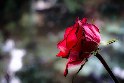 Photograph - Red Rose Early Winter Morning by Desmond Raymond