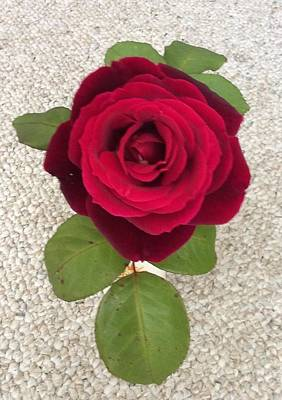 Photograph - Red Rose by Erika Chamberlin