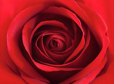 Red Rose Art Print by George Lovelace