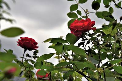 Photograph - Red Roses In Sunlight by Kim Bemis