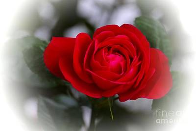 Red Photograph - Red Rose by Issabild -