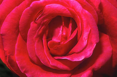 Photograph - Red Rose by John Brink