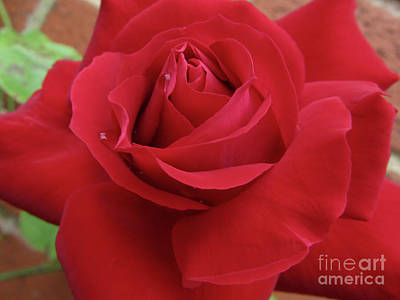 Photograph - Red Rose by Kim Tran
