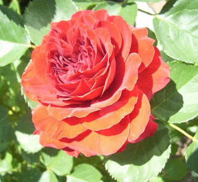 Red Rose Art Print by Lisa Roy