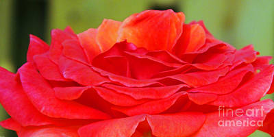 Photograph - Red Rose by Lizi Beard-Ward