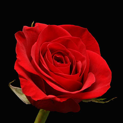 Photograph - Red Rose On Black 1 by George Jones