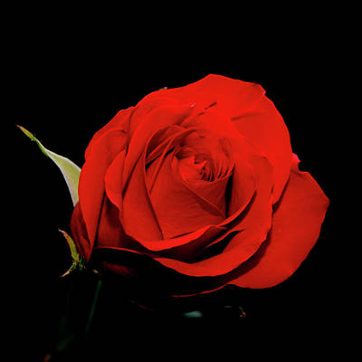 Photograph - Red Rose On Black 2 by George Jones