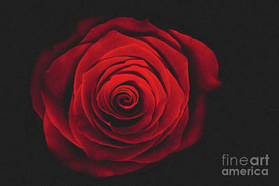 Photograph - Red Rose On Black Background Vintage Effect by Patrik Lovrin
