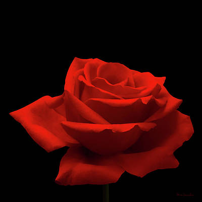 Red Rose Wall Art - Photograph - Red Rose On Black by Wim Lanclus