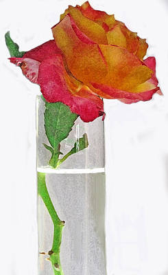 Photograph - Red Rose On Pure White by Ian  MacDonald