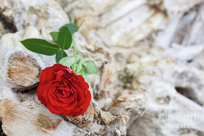 Photograph - Red Rose On The Beach. Love, Romance, Melancholy Concepts. by Michal Bednarek