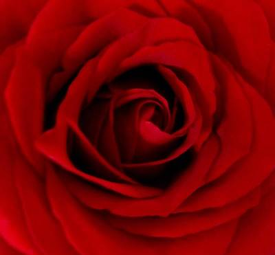Photograph - Red Rose - Original by Alohi Fujimoto