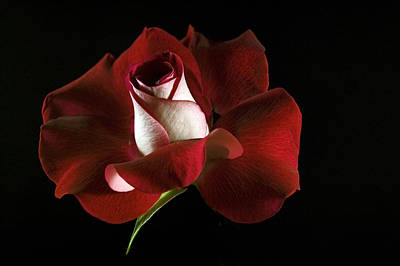 Photograph - Red Rose Petals by Elsa Marie Santoro