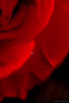 Photograph - Red Rose Rain Drop by Michelle  BarlondSmith