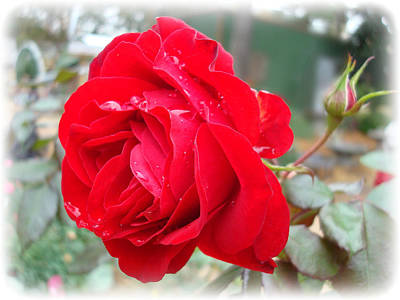 Red Rose  Red Rose Art Print