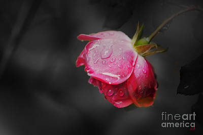 Photograph - Red Rose  by Sandra Clark