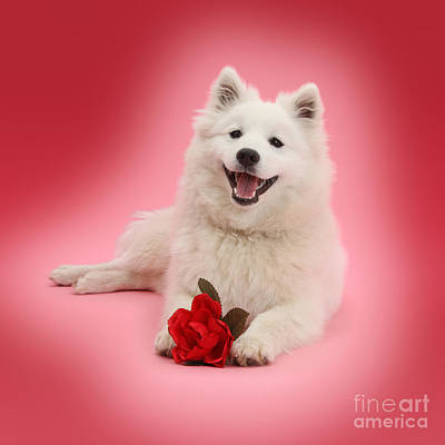 Photograph - Red Rose Spitz by Warren Photographic