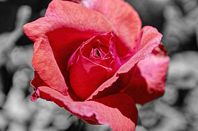 Photograph - Red Rose Splash by Roger Passman