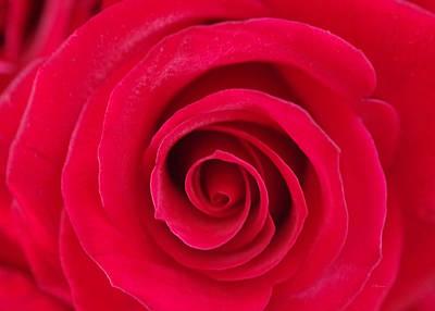 Red Rose Swirls Art Print by Romina D