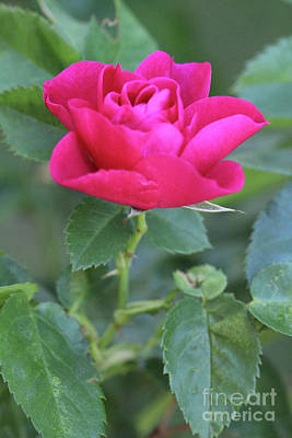 Photograph - Red Rose With Thorn by Donna L Munro