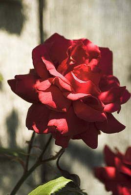 Photograph - Red Rose by Yulia Kazansky