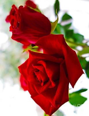 Photograph - Red Roses 2 by Tara Shalton